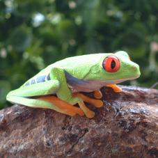 Red Eyed Tree Frog (Agalychnis callidryas)