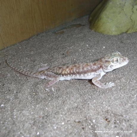 Petries Gecko