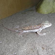 Petries Gecko
