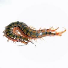 Egyptian Centipede (Scolopendra cingulata)