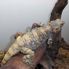 Painted Dragon (Laudakia stellio brachydactyla)