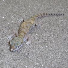 Slevins Sand Gecko (Stenodactylus slevini)