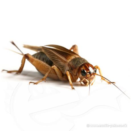 video on how to raise crickets