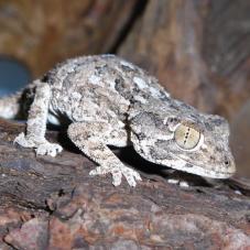 Helmeted Gecko (Tarentola chazalia)