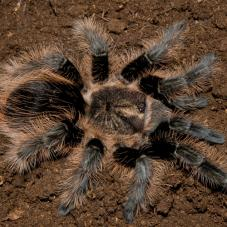 Curly Hair (Hobby Form) (Tliltocatly albopilosum)