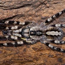 Indian Ornamental (Poecilotheria regalis)