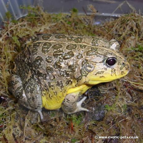 African Dwarf Bullfrog