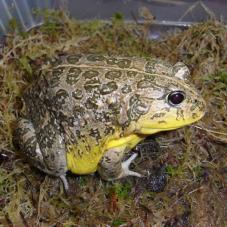 African Dwarf Bullfrog (Pyxicephalus edulis)