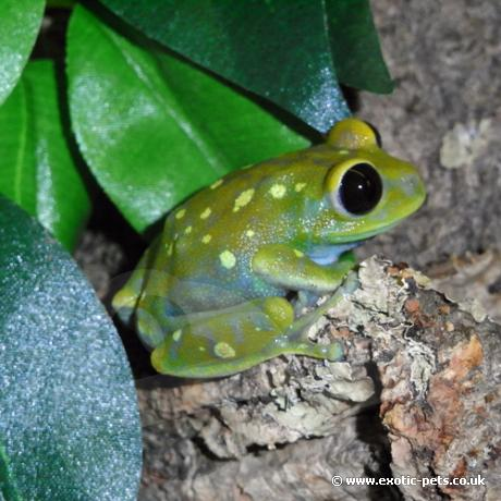 How to Care for a Glass Frog (Centrolene Prosoblepon) How to Care for a Glass Frog (Centrolene Prosoblepon) new pics