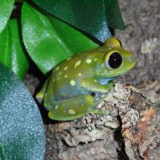 Globe Eyed Tree Frog (Leptopelis uluguruensis)