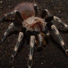 White Striped Birdeater (Nhandu chromatus)