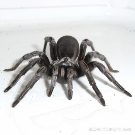 Silver Trapdoor Spider