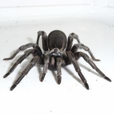 Silver Trapdoor Spider (Cyphonisia sp.)