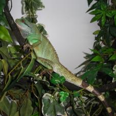 Water Dragon (Physignathus cocincinus)