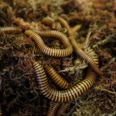 Texas Giant Gold Millipedes (Orthroporus ornatus)