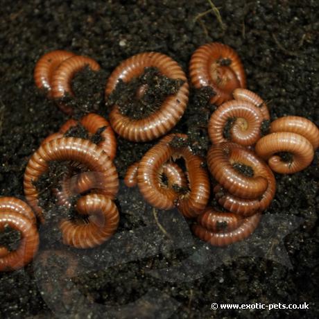 Tanzanian Earthworm Millipede