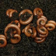 Tanzanian Earthworm Millipede (Spirostreptus brachycerus)