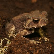 Asian Spiny Toad (Bufo melanostictus)