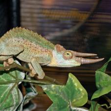 Jacksons Chameleon (Trioceros jacksonii jacksonii)