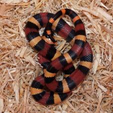 Pueblan Milk Snake (Lampropeltis triangulum campbelli)