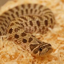 Western Hognose Snake (Heterodon nasicus)