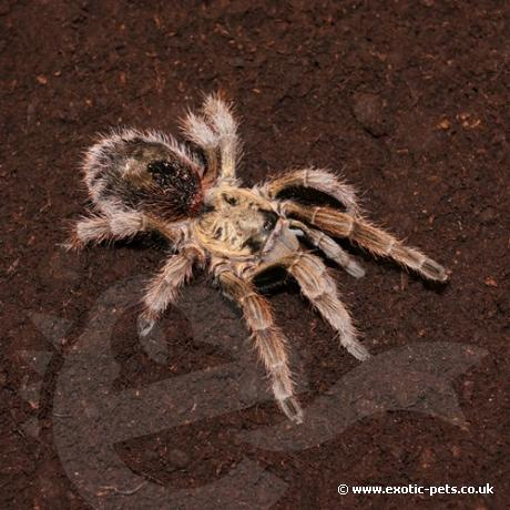 Chile Gold Burst Tarantula