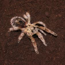 Chile Gold Burst Tarantula (Paraphysa parvula)