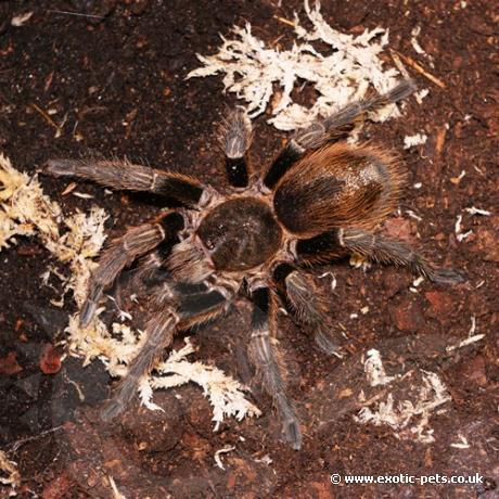 Chile Green Velvet Tarantula