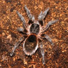 Chile Pink Burst Tarantula (Phrixotrichus scrofa)