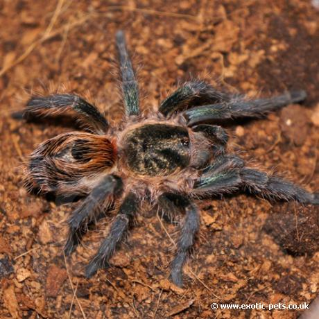 Chile Tiger Tarantula
