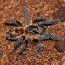 Chile Tiger Tarantula (Paraphysa sp. Tiger)