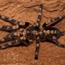 Ivory Ornamental Tarantula (Poecilotheria subfusca)
