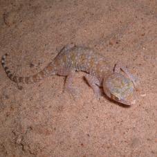 Elegant Gecko (Stenodactylus elegans)