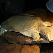 Chinese Soft Shell Turtle (Trionyx sinensis)