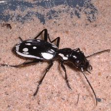 Egyptian Predator Beetle (Anthia sexmaculata)