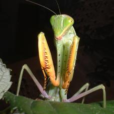 Praying Mantids soon to be back in stock! photo