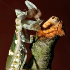 Jeweled Flower Mantis (Creobroter gemmatus)