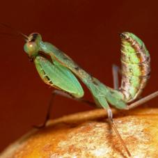 Blue Flash Mantis (Sphodromantis sp. Congo)