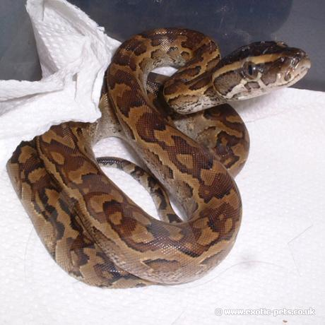 Young African Rock Python African Rock Python