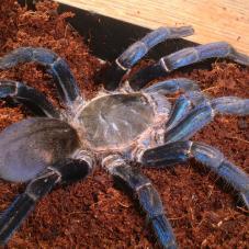 Cobalt Blue Tarantula (Haplopelma lividum)