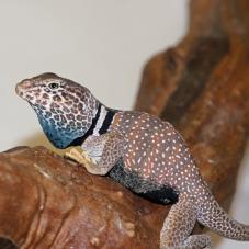 Desert Collared Lizard (Crotaphytus bicinctores)