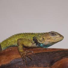 Emerald Swift (Sceloporus malachiticus)