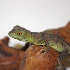Green Basilisk (Basiliskus plumifrons)