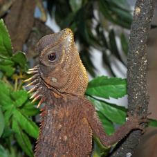 Mountain Horned Dragon (Acanthosaura capra)