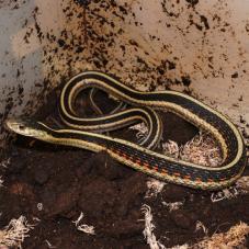 Red Sided Garter Snake (Thamnophis sirtalis parietalis)