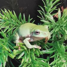 Whites Tree Frog (Litoria caerulea)