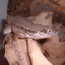 Curly Tail Lizard (Leiocephalus carinatus)