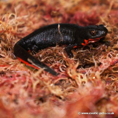Chinese Fire Bellied Newt