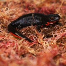 Chinese Fire Bellied Newt (Cynops orientalis)