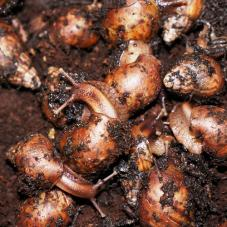 African Land Snails (Achatina fulica)